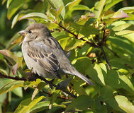 Small brown bird in tree. A small brown bird perched on a branch in a tree Stock Photos