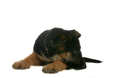 Small brown and black puppy resting chin on paw Stock Photo