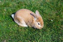 Small brown bunny on green grass Stock Images