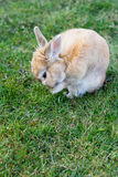 Small brown bunny on green grass Royalty Free Stock Photography