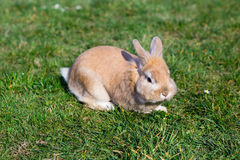 Small brown bunny on green grass Royalty Free Stock Photos