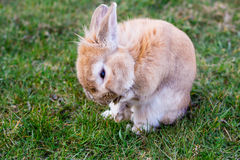 Small brown bunny on green grass Royalty Free Stock Images