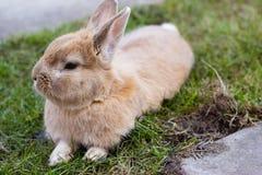 Small brown bunny on green grass Stock Photos