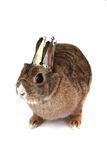Small brown bunny (pet) as princess Stock Image