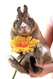 Small brown bunny (pet) with yellow flower Royalty Free Stock Images