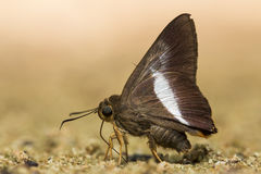 Small brown butterfly. Stock Photography