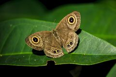 Brown butterfly on leaf in nature royalty free stock images