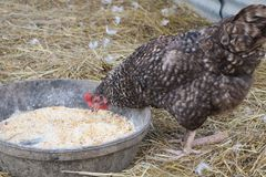 Small brown chicken eating corn on a farm Royalty Free Stock Images
