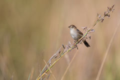 Small brown cisticola sitting and balance on grass stem Royalty Free Stock Photography