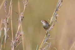 Small brown cisticola sitting and balance on grass stem Royalty Free Stock Photos