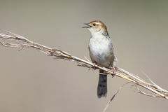Small brown cisticola sitting and sing on a grass stem Royalty Free Stock Image