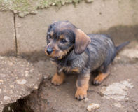 Small brown dachshund closeup Royalty Free Stock Image