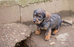 Small brown dachshund closeup Royalty Free Stock Photography