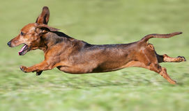 Small brown dachshund running. At full pace on green grass Royalty Free Stock Photos