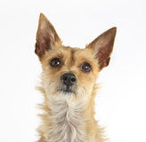 Small Brown Dog Stock Image