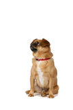 Small brown dog with folded over ears Royalty Free Stock Image