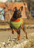 Small brown dog in a green sweater sitting Stock Photography