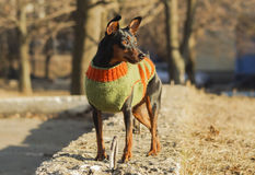 Small brown dog in a green sweater stand. On the gray block Stock Photos