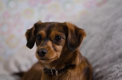 Small brown dog in home Stock Images
