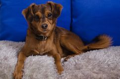 Small brown dog in home Royalty Free Stock Photos