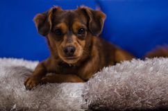 Small brown dog in home Stock Photos