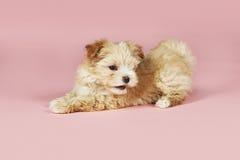 Small Brown Dog Lying Royalty Free Stock Image