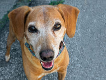 Small brown dog, mongrel, in street Stock Photography