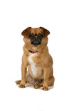 Small brown dog sitting Royalty Free Stock Images