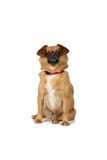 Small brown dog sitting on white background Royalty Free Stock Photos