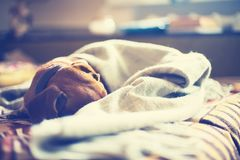 Small brown dog sleeps wrapped in a blanket Stock Image