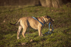 Small brown dog standing on the grass. Small cute brown dog standing on the grass and holds a blue leash in his mouth Royalty Free Stock Image