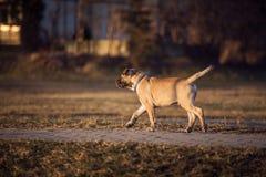 Small brown dog walk in the backyard. Small cute brown dog walk in the backyard Stock Images