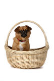 Small brown dog in wicker basket with handle Royalty Free Stock Image