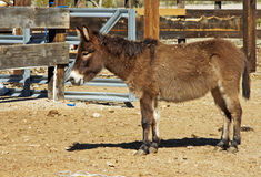 Small brown donkey Stock Image