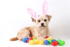 Small brown easter dog in the studio royalty free stock images