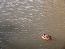 Small brown female mallard on top of water swimming paddling. Essex; england; uk Royalty Free Stock Image