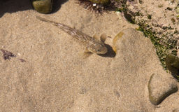 Small brown fish in pond on the beach Royalty Free Stock Photos