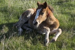 A small brown foal lying on the grass. Royalty Free Stock Images