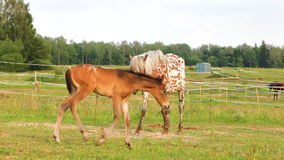 Small brown foal and spotty mare stock footage
