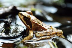 Small brown frog royalty free stock photography