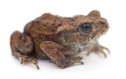 Small brown frog. Small brown frog isolated on white background Stock Images