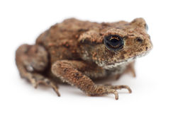Small brown frog. Small brown frog isolated on white background Stock Photos