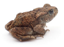 Small brown frog. Royalty Free Stock Photography