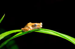 Small brown frog Royalty Free Stock Image