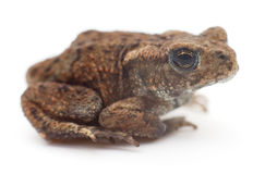 Small brown frog. Small brown frog  on white background Royalty Free Stock Image