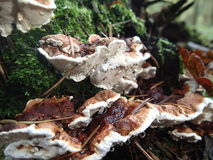 Small brown fungi Royalty Free Stock Images