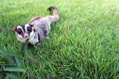 Small brown furry sugar glider playing by herself royalty free stock photos