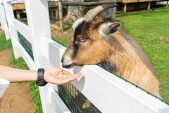 A small brown goat enjoys being fed at a petting zoo in Pennsylvania. Small brown goat enjoys being fed at a petting zoo in Pennsylvania royalty free stock images