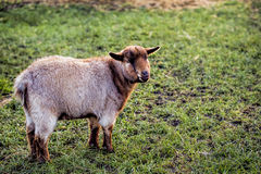 Small brown goat Royalty Free Stock Images