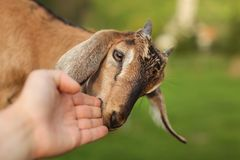 Small brown goat kid licking and chewing man`s hand. royalty free stock images